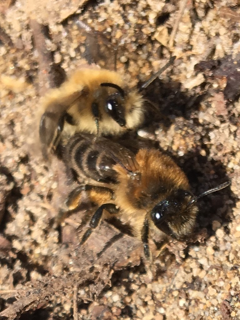 Frühlings-Seidenbiene bei der Paarung. Aesch/BL
